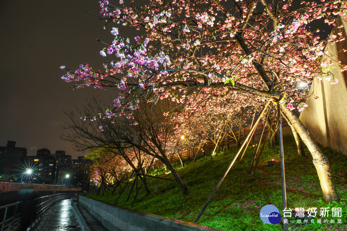 內湖樂活公園夜櫻季 LED投射下美不勝收