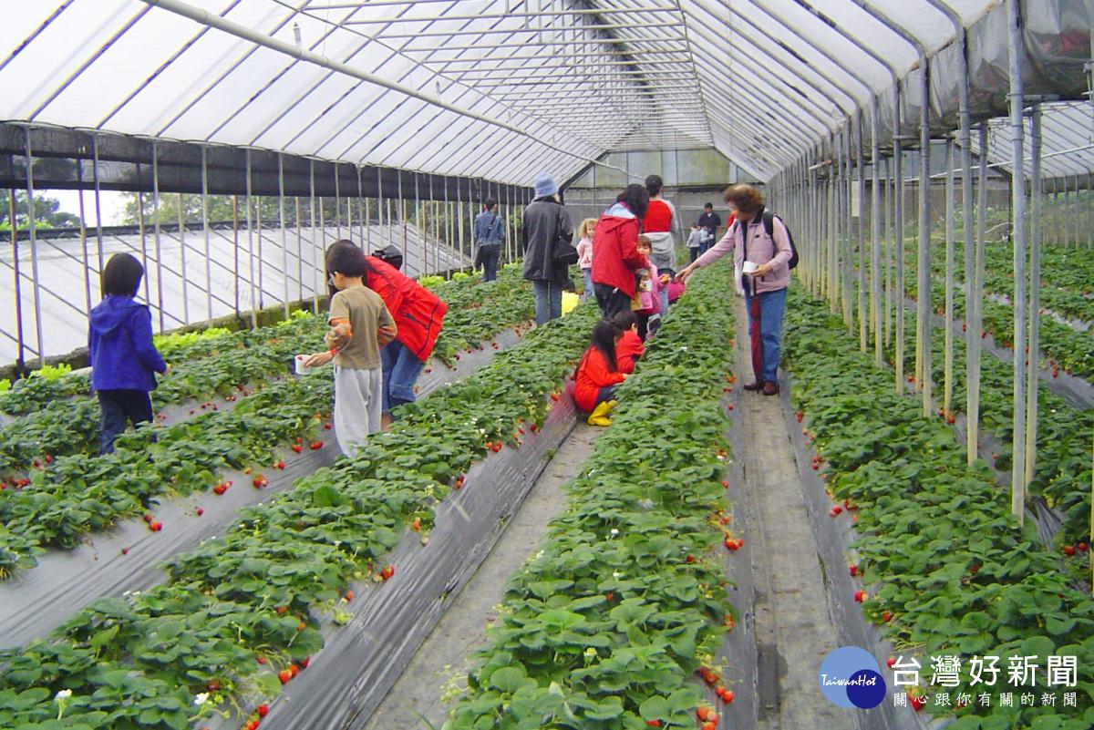 春節走春採草莓免去苗栗 北市石湖休閒農業區一樣採到爽