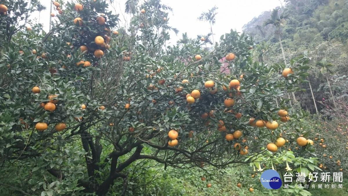 大溪觀光果園茂谷柑盛產 春遊採摘正是時候