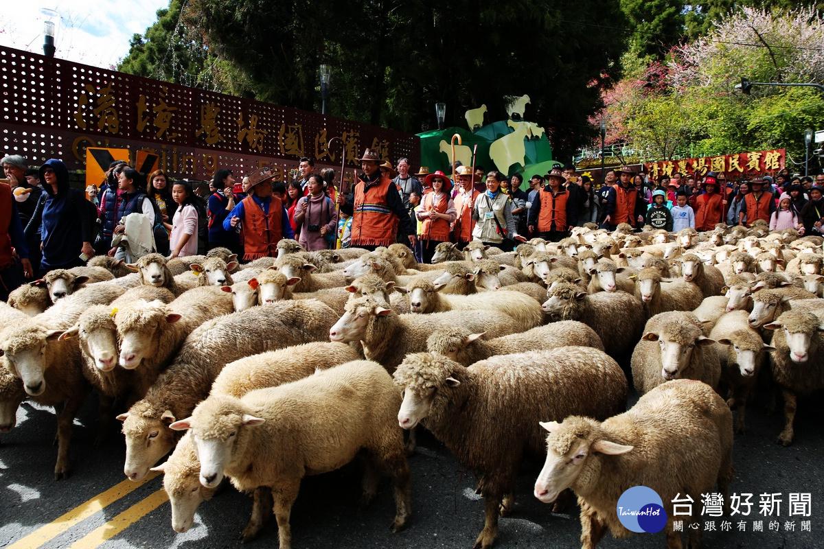 清境農場奔羊節登場 民眾體驗高山牧羊樂趣_