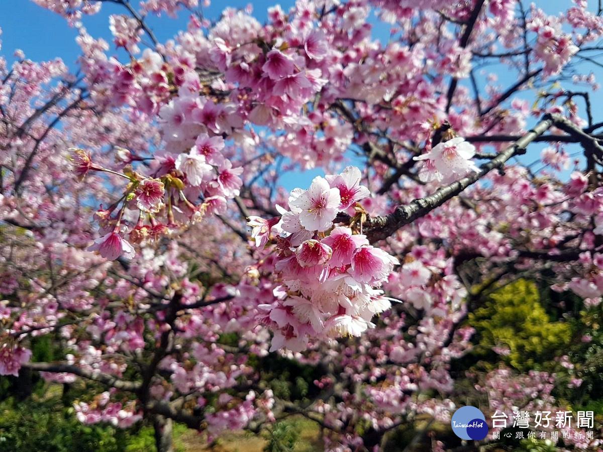 陽明山平菁街櫻花浪漫盛開 單車賞櫻正是時候