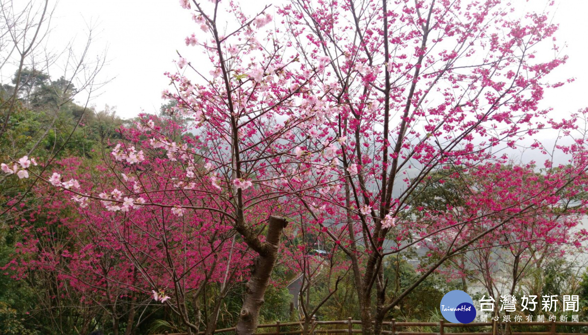 北橫公路山櫻花沿途紛飛 粉色地毯美不勝收