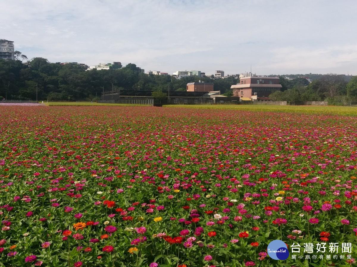 大溪花彩節尚未登場 花朵陸續綻放吸引遊客駐足拍照_