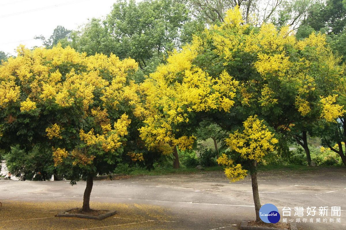 台灣欒樹綻放蒴果 如黃金雨灑落