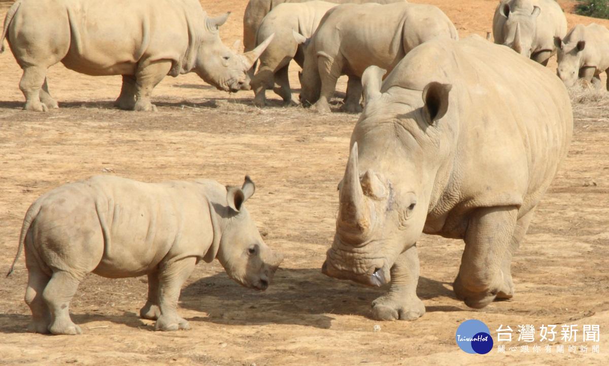 響應世界犀牛日 六福村邀全民站出來挺犀牛